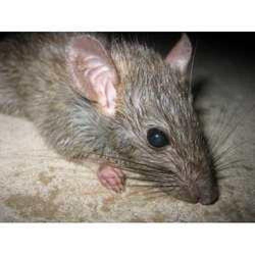 Orlando Rat Control